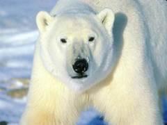 Polarbearbig
