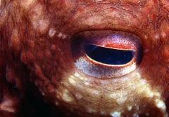 Octopus_eye