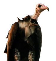 Vulture_1